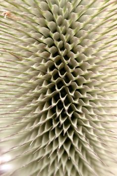 teasel 500px / Geometry in Nature by Claude Cat --This world is really awesome. The woman who make our chocolate think you're awesome, too. Our flavorful chocolate is organic and fair trade certified. We're Peruvian Chocolate. Order some today on Amazon!http://www.amazon.com/gp/product/B00725K254