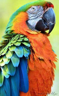 Pet Birds Pictures With Names Pet Birds Cage Crossword Clue Parrot Pet, Parrot Toys, Parrot Bird, Pretty Birds, Beautiful Birds, Animals Beautiful, Cute Animals, Tropical Birds, Exotic Birds