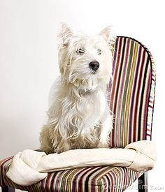 Westie (sitting on an upholstered dining chair from Pier 1). It's fate.