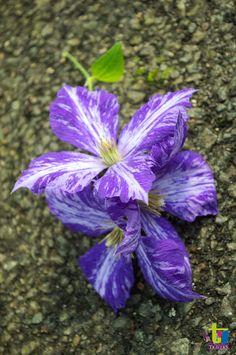 Clématite Tie Dye à découvriri sur www.clematite.net Perennials, Beautiful Flowers, Leaves, Gardening, Tie, Ideas, Gardens, Pretty Flowers, Garten