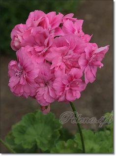 Форум Клуба любителей пеларгоний > Растут, цветут и радуют. (Pelena)
