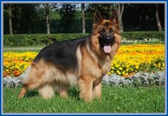 Nice Picture Of A German Shepherd Dog More Design http://joesquest.com/dog-breeds/picture-of-a-german-shepherd-dog/