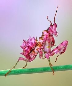 Orchid Mantid by Bob Jensen on 500px