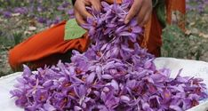 Saffron harvesting is a labour intensive job as flowers have to be handpicked and the slender threads extracted carefully Saffron Plant, Saffron Tea, Saffron Flower, Iran Food, Healthy Environment, Graphic Design Layouts, Health And Nutrition, Traditional Outfits, Travel Pictures