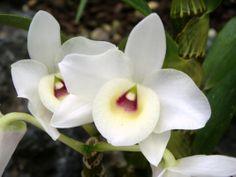 Dendrobium White King, Dendrobium Gatton Prince × Dendrobium Mont Blanc