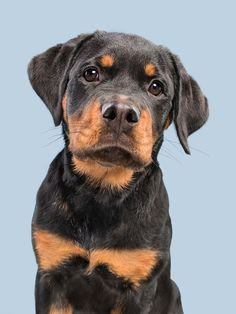 Rottweiler cuteness by Elke Vogelsang - Photo 236005283 / 500px
