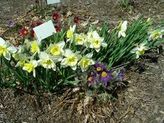 Cornell Bulb/Perennial Combos - Narcissus 'Ice Follies' with Pusatilla vulgaris 'Papageno'