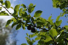 Borş sau o pastă de corcoduşe verzi Fruit, Food, The Fruit, Meals, Yemek, Eten