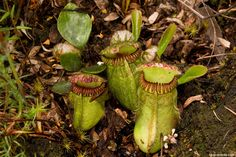 The simplest kind of trap that carnivorous plants use is the pitfall trap, or pitcher trap. Cepholotus