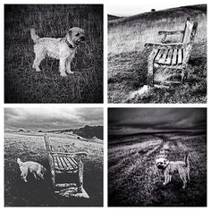 """""""Weekly roundup 2 - #selsey common #monochrome retrospective  #alfborder #borderterrior #btposse #ultimateborder #dog #hound #pooch #puppy #cotswolds"""" Photo taken by @combehouse on Instagram, pinned via the InstaPin iOS App! http://www.instapinapp.com (09/25/2015)"""