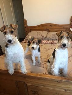 My fox terrier family