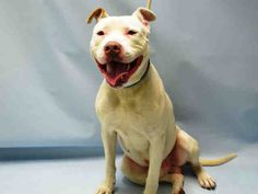 SAFE - 12/24/15 - HONEY COMB - #A1060721- Urgent Brooklyn - MALE WHITE & BROWN PIT BULL MIX, 1 Yr - STRAY - NO HOLD Intake 12/16/15 Due Out 12/19/15 - FRIENDLY, ALLOWED HANDLING