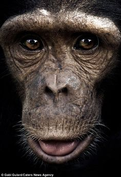 Incredible images show the expressive faces of chimpanzees | Mail Online