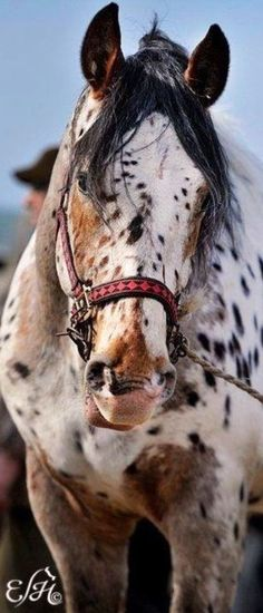 Gorgeous Appaloosa horse with amazing spots!