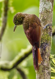 The Spotted Woodcreeper (Xiphorhynchus erythropygius) is a species of bird in the Dendrocolaptinae subfamily. It is found in Belize, Colombia, Costa Rica, Ecuador, El Salvador, Guatemala, Honduras, Mexico, Nicaragua, and Panama. Its natural habitats are subtropical or tropical moist lowland forests and subtropical or tropical moist montane forests. It is not considered a threatened species by the IUCN.