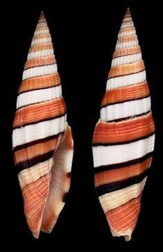 Vexillum taeniatum (Lamarck, J.B.P.A. de, 1811) Ribboned/Taylor's Mitre Shell size 38 - 91 mm W Pacific