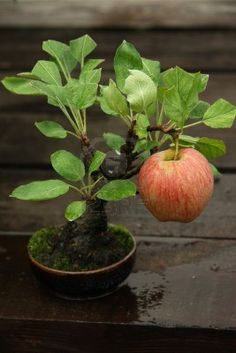 An apple tree bonsai! See more awesome bonsai trees Bonsai Plants, Bonsai Garden, Garden Plants, Indoor Plants, Bonsai Trees, Fruit Garden, Plantas Bonsai, Ikebana, Fruit Trees