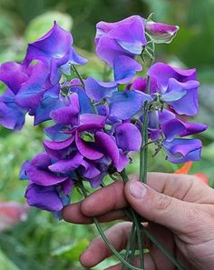 Lathyrus odoratus 'Blue Shift' - Something wondrous & new in Sweet Pea land! Color shifting blooms! Another Keith Hammett creation, each flower begins life a rich violet purple & then transitions, like a watercolor, into blue.