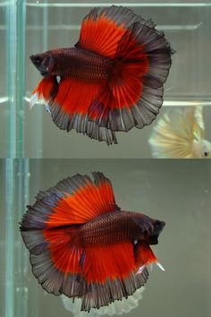 Siamese Fighting Fish - Black/Red Butterfly Double Tail Half Moon Betta Splendens