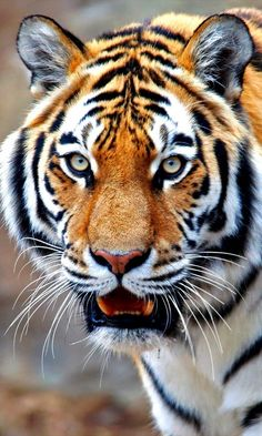 Such a beauty❣️ Majestic Animals, Unique Animals, Large Animals, Cute Animals, Tiger Images, Tiger Pictures, Beautiful Cats, Beautiful Horses, Animals Beautiful