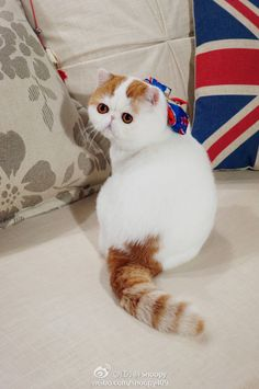 Snoopy Cat, Exotic Shorthair, Cute Cats, Persian, Kittens, Wolves, Animals, Type 3, Babe