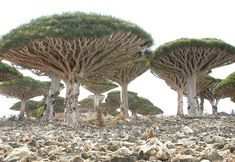 "The umbrella-shaped ""blood tree,"" the cucumber tree in Yemen 