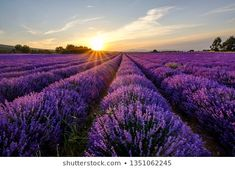Imagens, fotos stock e imagens vetoriais de provence | Shutterstock Gnats In House Plants, Cat Safe House Plants, Easy House Plants, House Plants Decor, Butterfly Spirit Animal, Cat Spirit Animal, Lavender Meaning, All About Plants, Flower Meanings