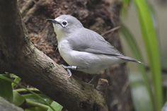 Senegal White-eye (Zosterops senegalensis) | by writhedhornbill