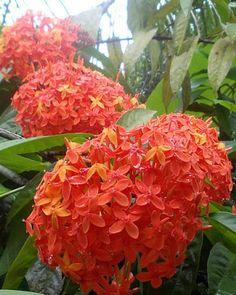 Botanical Names: Ixora Gardenias, Rainbow Garden, Kerala, Lawn And Garden, Garden Plants, Shrubs, Planting Flowers, Bloom, Holiday