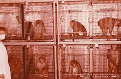 Caged Primates In Animal Experimentation Research Centre Laboratory With Vivisector Image  Animal testing statistics indicate that over 209,450 monkeys were experimented on in cruel, misleading animal research during 2010. Help stop experiments on monkeys.    © Brian Gunn /IAAPEA