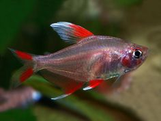 Aquarium Filters And Aquarium Supplies Betta Aquarium, Tropical Fish Aquarium, Fish Ocean, Tetra Fish, Neon Tetra, Tropical Freshwater Fish, Freshwater Aquarium Fish, Coldwater Fish, Aquarium Supplies
