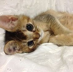 Abyssinian kitten. I want one so bad, but I've heard that they're high maintenance not to mention that high price tag. - Spoil your kitty at www.coolcattreehouse.com