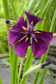 Japanse Iris (Iris Kaempferi)
