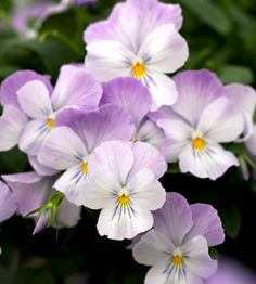 'Velocity Baby Blue' Viola  (Viola williamsii 'Velocity Baby Blue')  Pansies are great to add an extra punch of color to your garden during the cooler seasons. Plant 'Velocity Baby Blue' for a beautiful variegation between lavender and white -- sure to fit in well with any landscape.