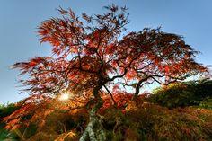 Japanese maple tree - Dmitrii Lezine