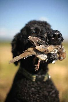 Poodles are happiest doing what they were bred for...  retrieving.  Garden  Gun | Alabama Dove Hunt