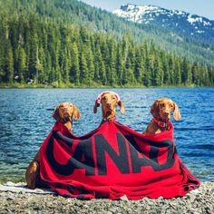 Happy 150th birthday Canada! From our three ginger butts to yours #ohcanada #thankyoucanada #imagesofcanada #canadaday#campingwithdogs #dailyhivevan