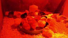 Chicks Hatched in Brinsea ovaeasy + Old School Metal Hatcher | Third Hat...