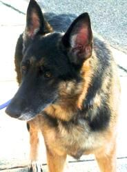 Adopted! Sasha is an adoptable German Shepherd Dog Dog in Spring Lake, NJ. HI, I'm SASHA, a beautiful, sweetshephard looking for a home. My owner was deployed to keep our country safe and there is no one a...