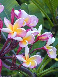frangipanier, Île de la Réunion, Outre-Mer https://www.hotelscombined.fr/Place/Reunion.htm?a_aid=150886