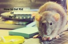 How to Get Rid of Rats? This article is about various remedies to get rid of rats.