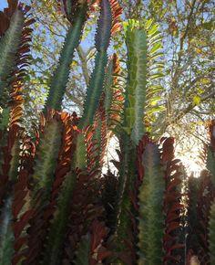 Sunset over euphorbia  #nofilter #sunset #euphorbia #cactus #succulents #succulent #plantsofinstagram #urbangarden #urbangardening #sydney #surryhills by lane_gorilla_gardener