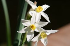 This is a Jonquil flower and it's for March!!!