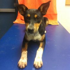 Nola is an adoptable Rat Terrier Dog in Forrest City, AR. Nolan - female - Shepherd/Rat Terrier Mix Nolan is a sweetheart. Right now, she is not too keen on being with the other dogs. It seems she may...
