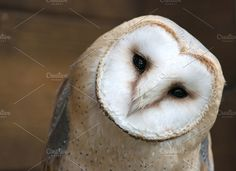 Close up portrait of a barn owl by Photonature. on @creativemarket