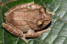 One of 8 new frog species discovered in one sanctuary in Sri Lanka:  Pseudophilautus newtonjayawardanei. Photo by: L.J. Mendis Wickramasinghe.