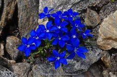 Unique Flowers, Amazing Flowers, Blue Flowers, Wild Flowers, Beautiful Flowers, Alpine Garden, Alpine Plants, Rock Plants, Alpine Flowers
