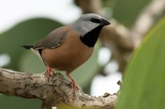 A black-throated finch in Australia. The creation of Australia's largest mine – the Carmichael mine – will have 'serious detrimental and irreversible consequences' for the endangered bird and may even push it to extinction, a recovery team for the species has advised Greg Hunt, the federal environment minister._The week in wildlife – in pictures
