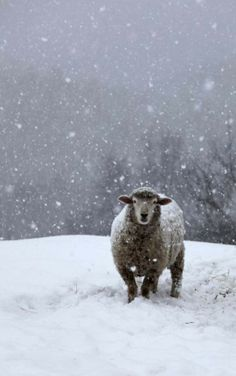 Sheep In Snow Storm...hard to decide where to pin...woolies or winter!...yes!!