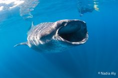 Located in the Caribbean Sea just off the northeastern tip of the Yucatan Peninsula, the waters of Isla Mujeres continue to play host to hundreds of whale sharks each year, in a phenomenon that scientists now think has been taking place for many years, despite its relatively recent scientific discovery in 2009.